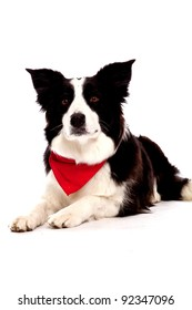 Border Collie in front of a white background with red banana