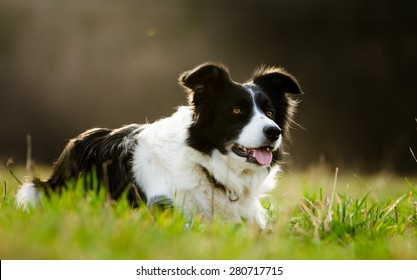 Border Collie in grass