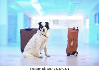 Border collie guards suitcases in the airport lounge