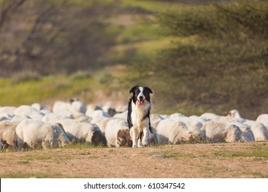 Border collie with herd of sheep