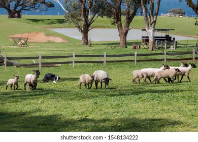 A Border Collie is herding a group of sheep in Churchill farm national park of Phillip island Melbourne Australia. It is a working and herding dog breed developed in the Scottish borders.