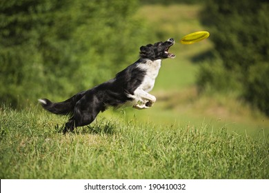 Border Collie jumping and catching frisbee outdoors