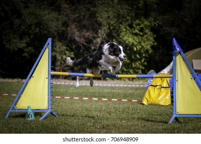 Border Collie jumping over an obstacle looking left