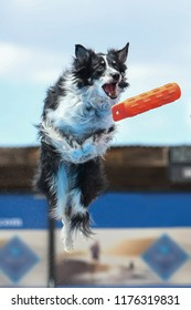 Border collie jumping for a toy