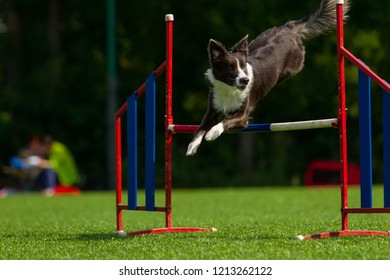 Border collie jumps over the barrier in agility training