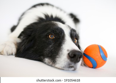 Border Collie laying down looking forward with an orange ball