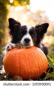 Border collie laying on a pumpkin. Really cute dog.