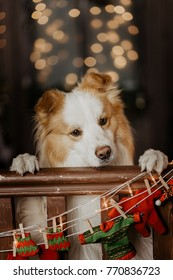 Border collie leaning on the fence with christmas lights in the background
