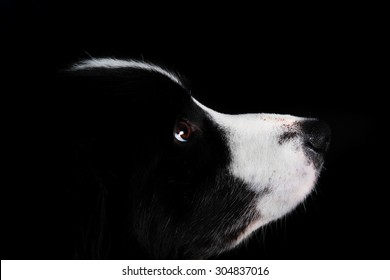 Border Collie Looking up