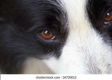 a border collie is looking at camera