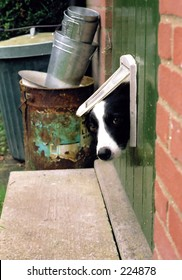 Border Collie looking through a cat flap