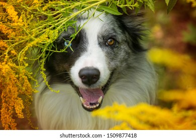Border Collie looks out of a bush