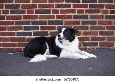A Border Collie lying down against a brick wall