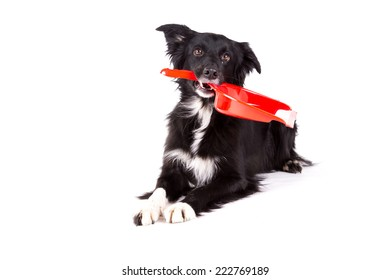 Border collie lying and holding a broom tool on a white background
