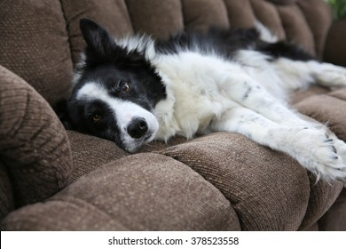 A Border Collie lying on the couch looking at the camera