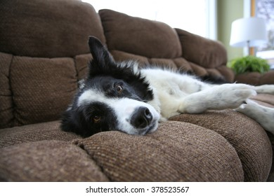 A Border Collie lying on the couch with eye open