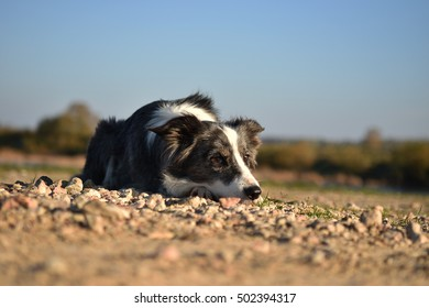 Border Collie lying on the ground