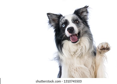 Border collie lying on wite background and lift the paw