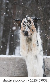 Border collie male posing in the snow. Obedience dog trainning.