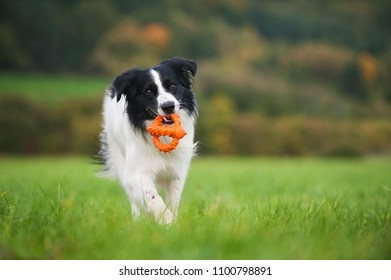 Border collie mixed breed dog with a toy in a meadow