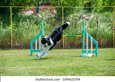Border Collie on agility field for dogs, training and competing, jumping over obstacles, crossing over balance ramp, passing through the tunnel, running slalom