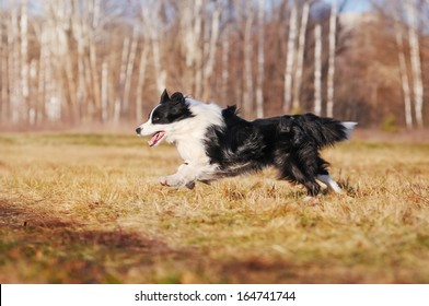 Border Collie on autumn walk