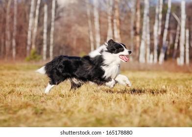 Border Collie on autumn walk