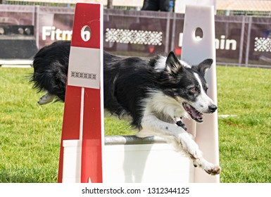 Border collie on flyball schampionship Prague