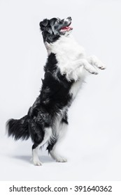 Border Collie on a grey background