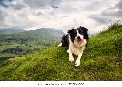Border Collie on a Mountain