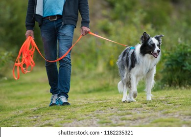 Border Collie on a towline