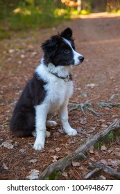 border collie on a walk in the woods