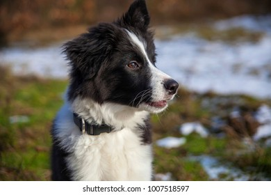border collie on a walk in the woods in winter