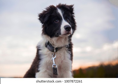 border collie on a walk in the woods with view