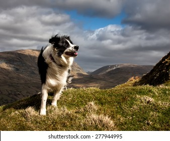 A Border Collie on Wansfell near Ambleside