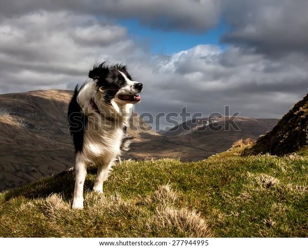 A Border Collie on Wansfell near Ambleside