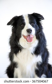 A Border Collie on white background looking at the camera