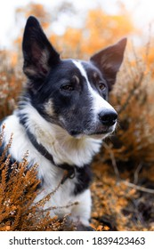 Border collie outdoors during autumn.