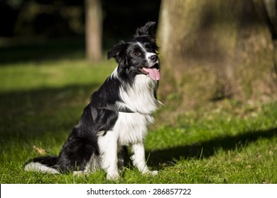border collie outdoors on a summer day. Dogs tricks and sport