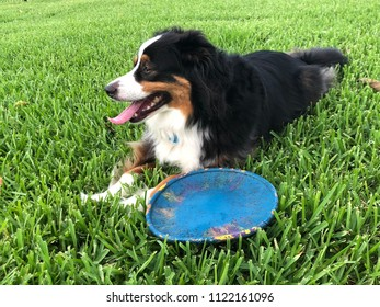 Border collie panting and relaxing in the grass during the Summer after playing hard.