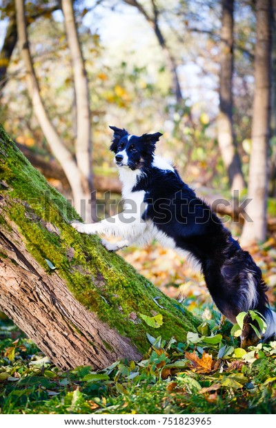Border Collie in park