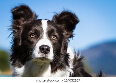 Border Collie - Portrait