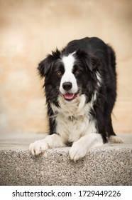Border collie portrait in the city