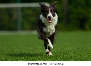 Border collie pose against the backdrop of a football goal, summer day, sulight, nature light, one
