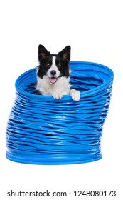 Border collie posing in a agility tunnel in front of a white background