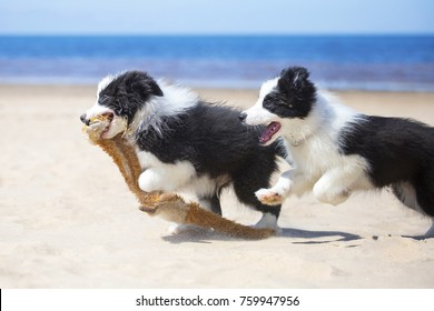 Border Collie puppies plays in the beach