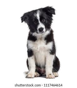 Border Collie puppy, 17 weeks old, sitting against white background