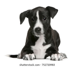 Border Collie puppy, 2 months old, lying in front of white background