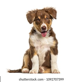 Border Collie puppy , 3 months old, sitting against white background