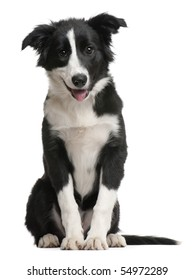 Border Collie puppy, 4 months old, sitting in front of white background